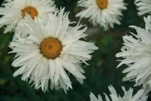 daisies_sm